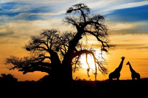 Spectacular african sunset baobab and giraffe